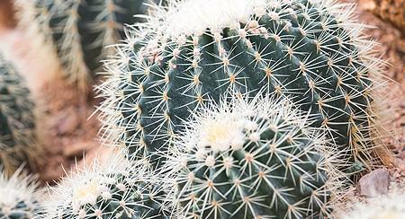 Cactus Gilbert AZ