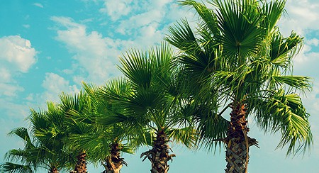 Palm Trees Gilbert AZ